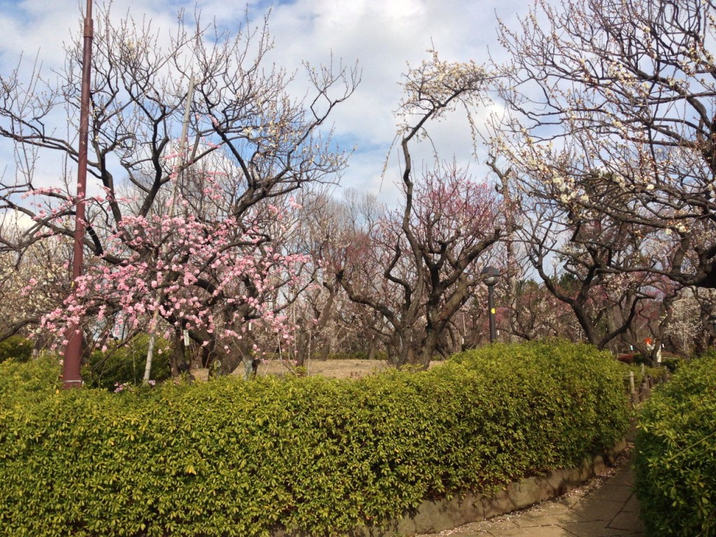 Plum blossoms in Hanegi Park | © Tokyo-Walk / WikiCommons