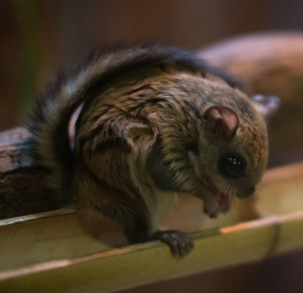 Japanese dwarf flying squirrel   ©Takashi Hososhimo / Flickr