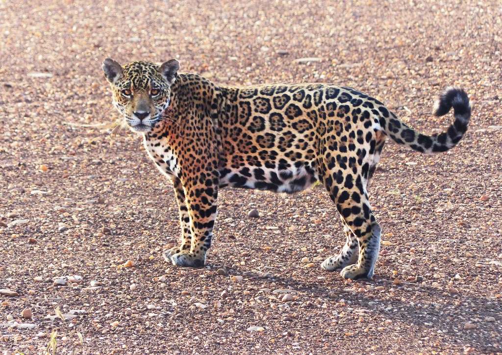 Jaguar in Kaa Iya | © Ivan Gutierrez Lemaitre
