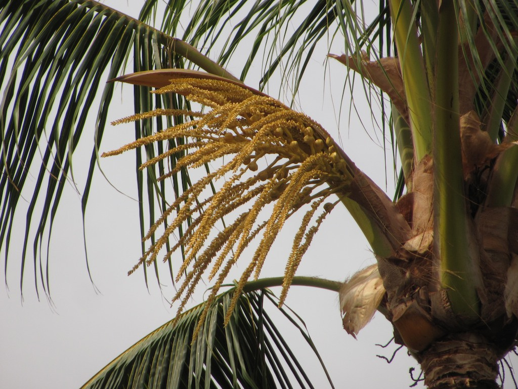 Palm Spathe when closed is tapped for palm wine | ©Malcolm Manners / flickr