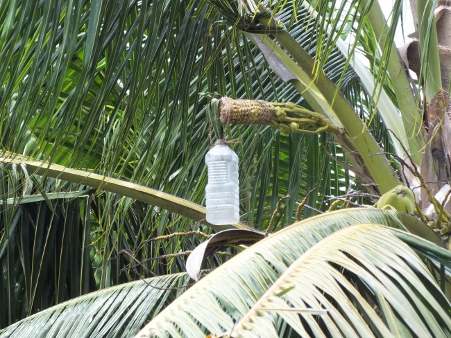 A Brief History Of The Seychelles Palm Wine