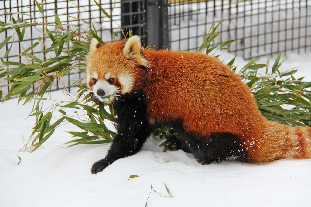 Red panda   ©Sharonang / Pixabay