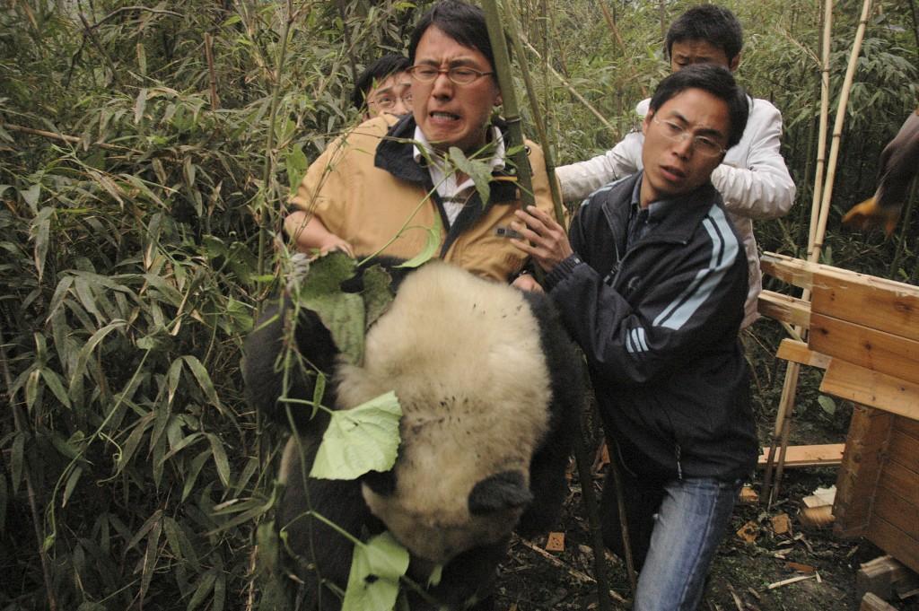 Rescuing Qing Qing | © Pandas International