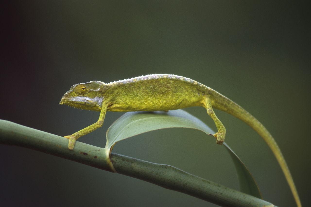 The Seychelles Chameleon | ©Hans Stieglitz/wikimedia commons
