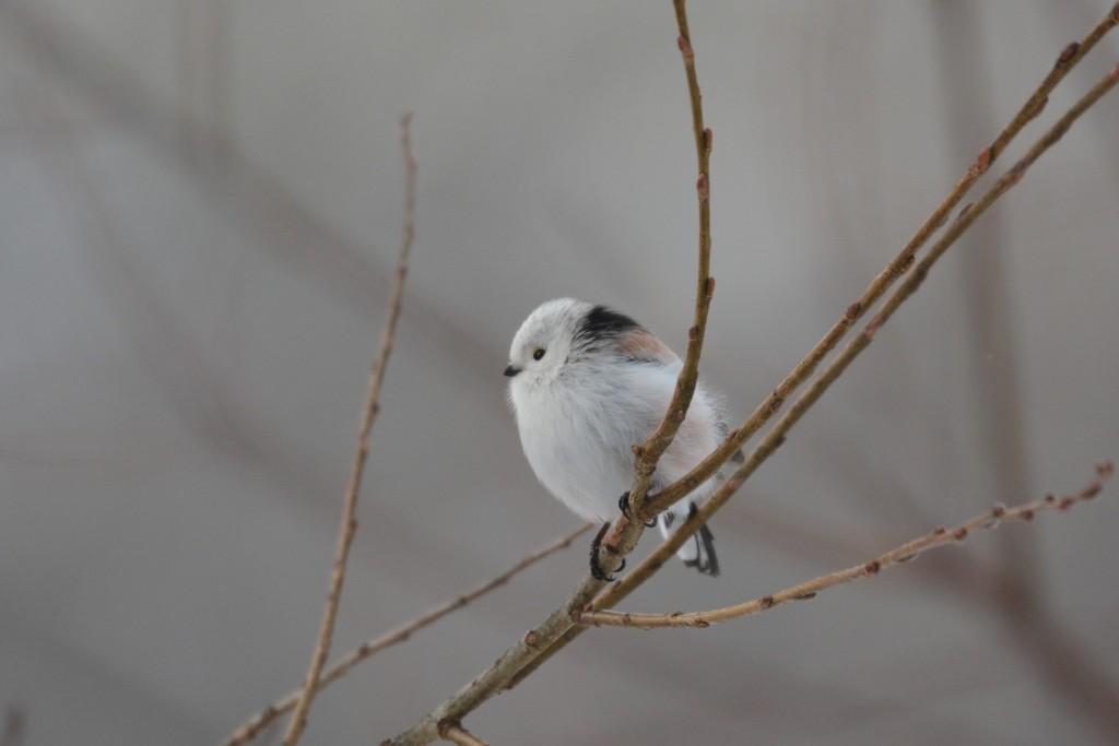 Shima enaga   ©野鳥大好き/ Photozou