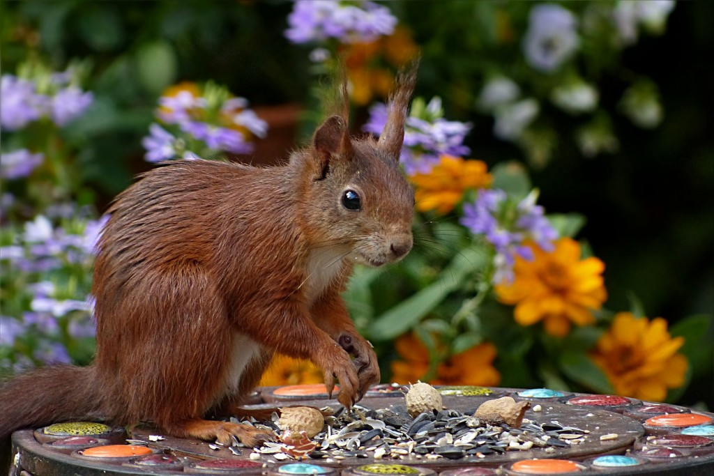 Eurasian red squirrel (sciurus vulgaris)   ©Oldiefan / Pixabay