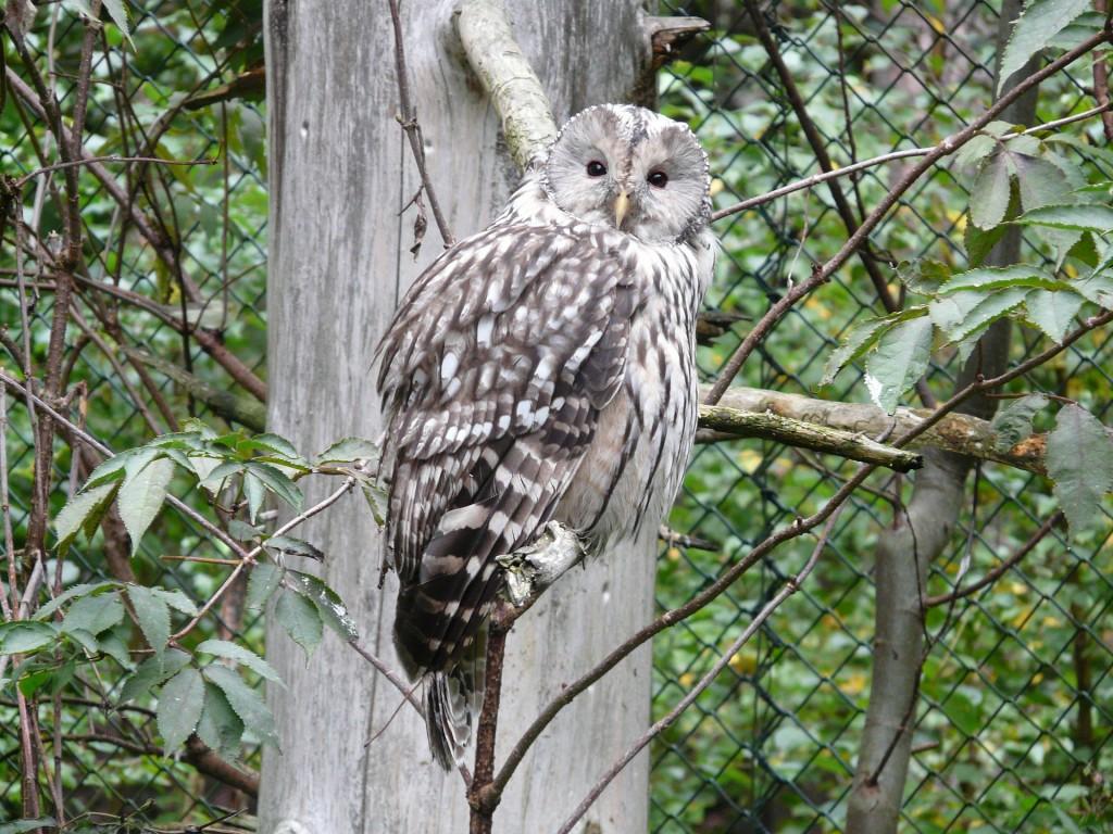 Ezo Fukuro (a sub-species of the Ural Owl)   ©Hans / Pixabay