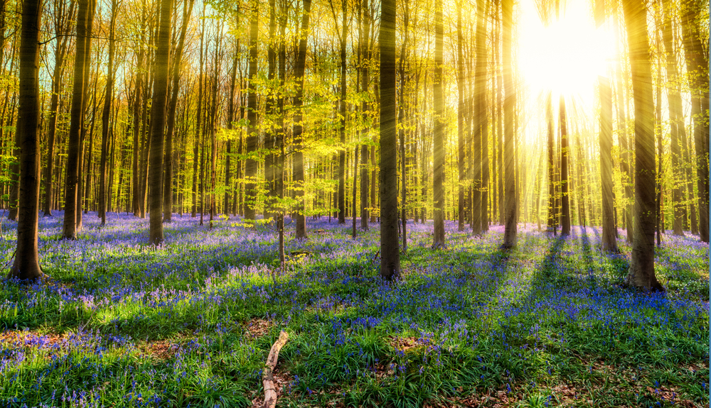 For a period of about ten glorious days, the beech canopy still allows sunlight to reach the undergrowth | © Simon Lukas / Shutterstock