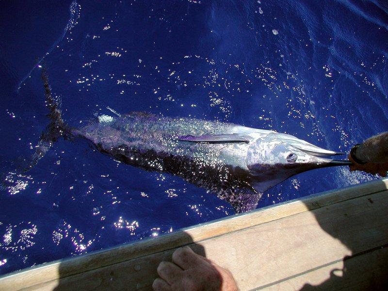 Blue Marlin © Kim/FlickR