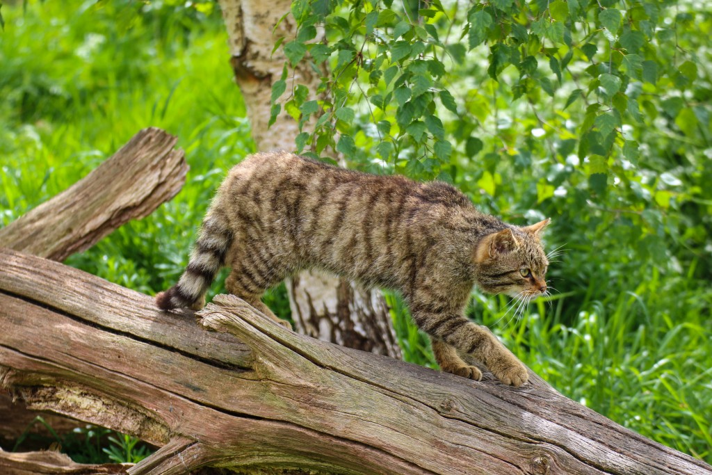 Scottish Wildcat | © Chris Parker/Flickr