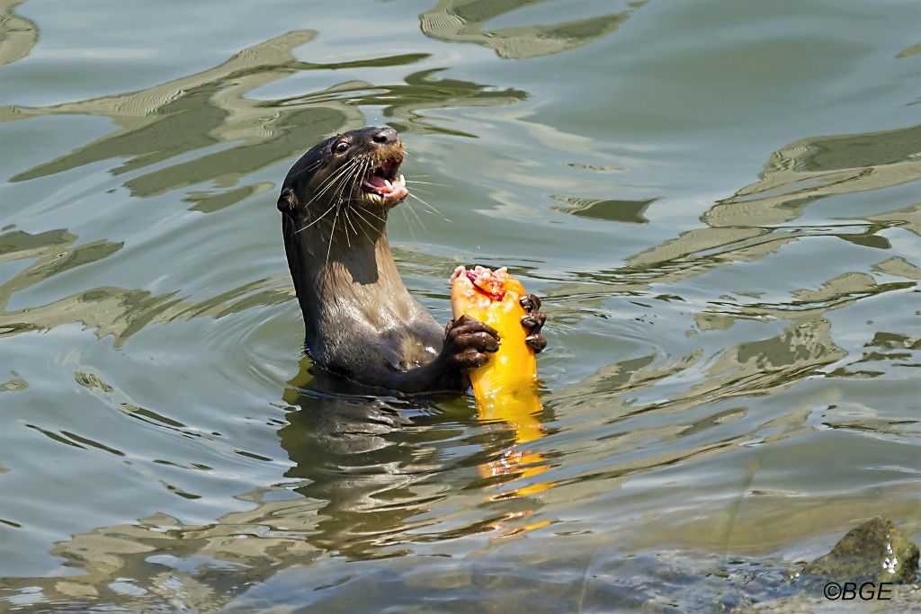 A hungry otter at Gardens by the Bay | © Brian Evans/Flickr