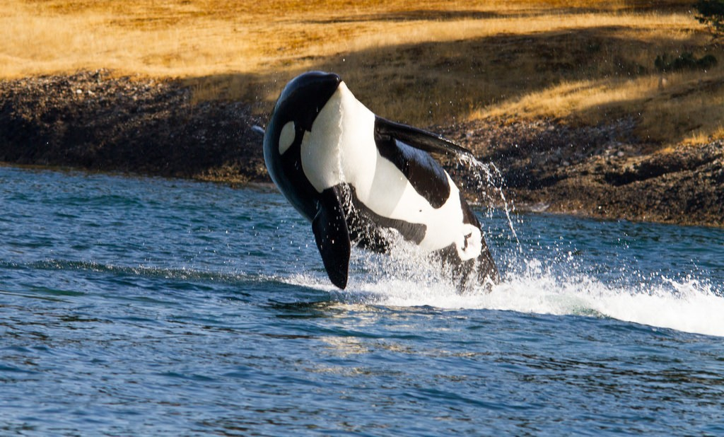 See Orca Whales in BC | © Shawn McCready / Flickr