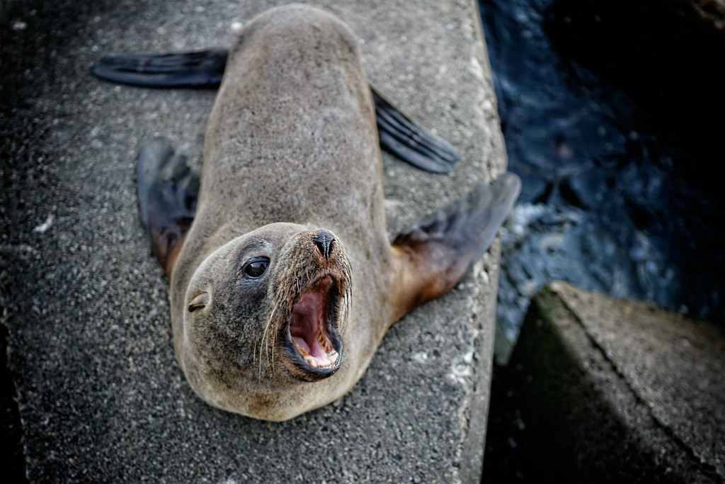 South American fur seal © Marcelo Campi / Flickr
