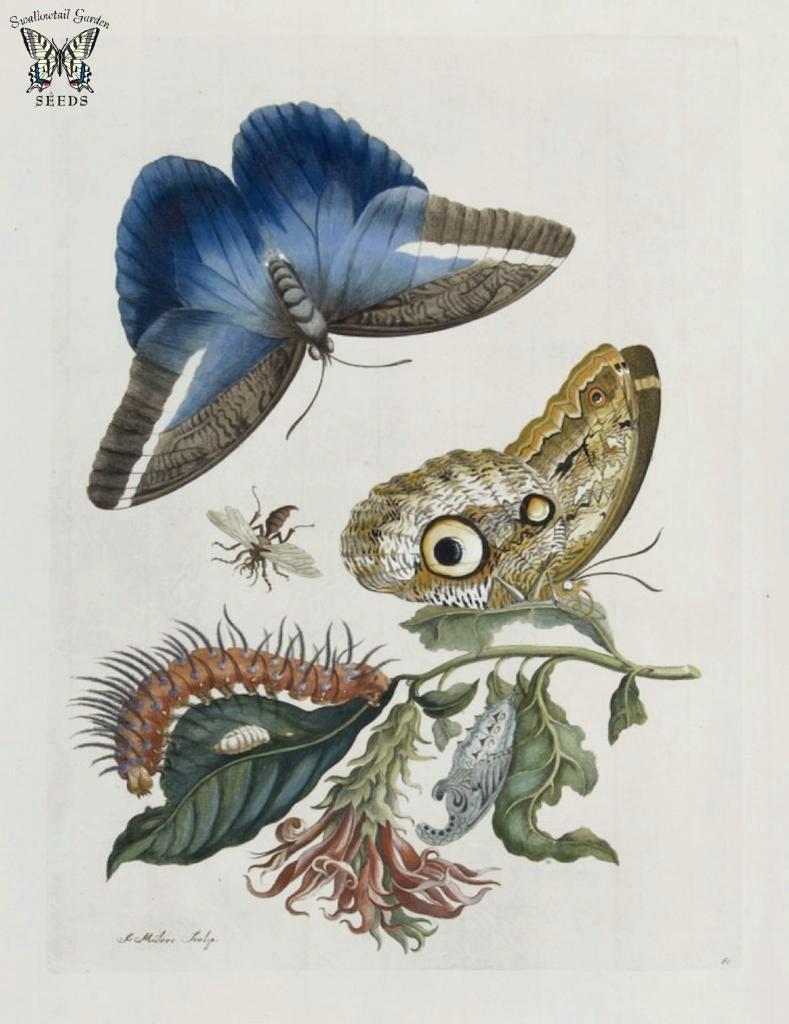 Maria Merian Butterfly Drawing   © Swallowtail Garden Seeds / Flickr