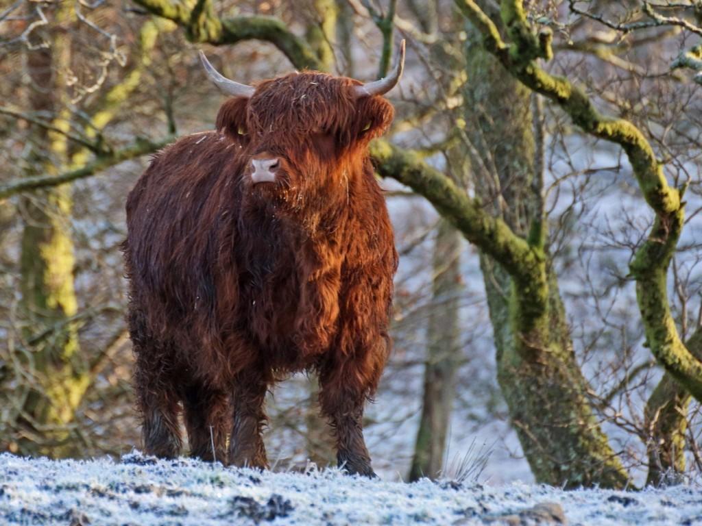 Highland Cow in Winter   © David Alexander Elder/Flickr