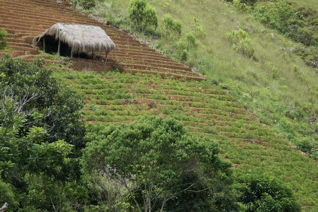 Coca field in Los Yungas   © kristin miranda/Flickr