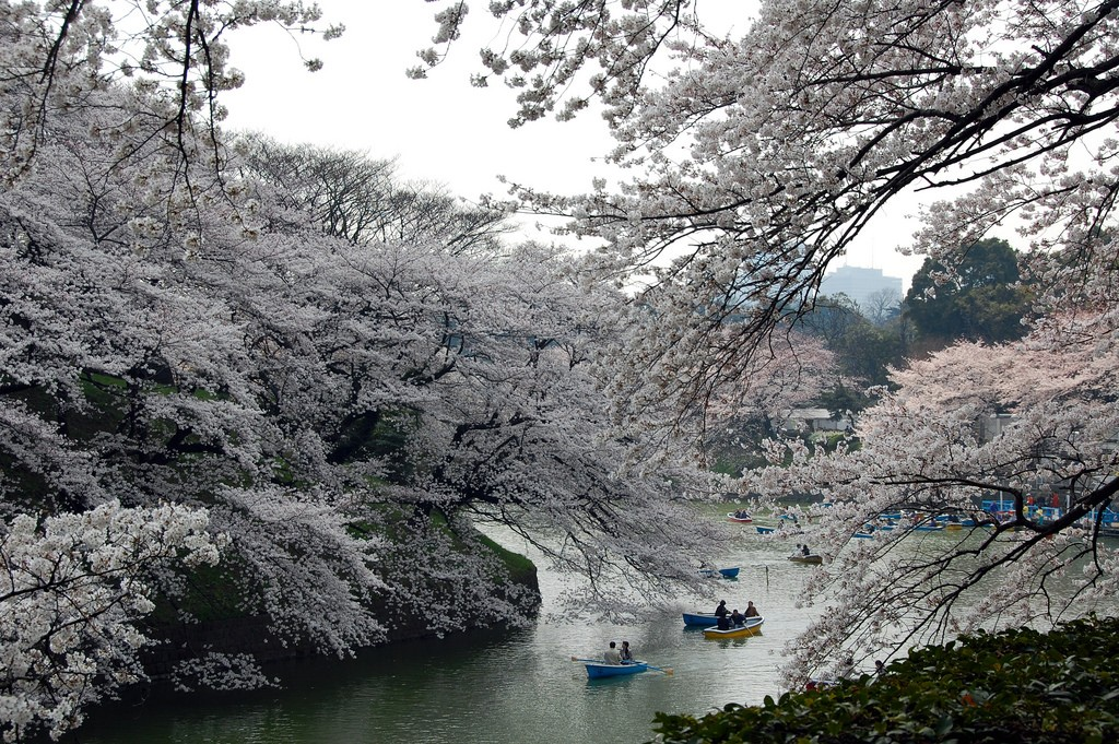 Riding boats under the blossoms at Chidori ga Fuchi | © kanegen/Flickr