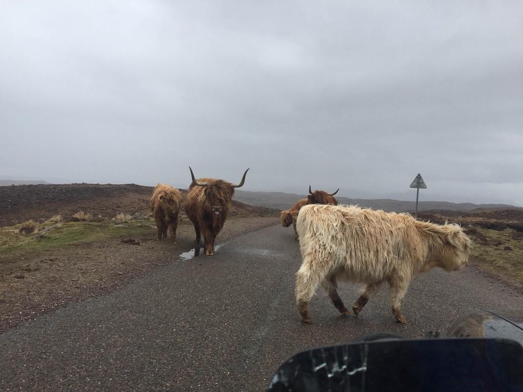 Gridlock! Highland Traffic Jam   © Kellas Campbell/Flickr