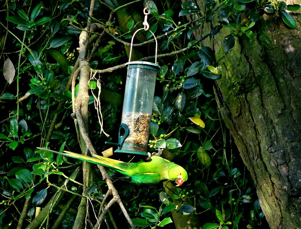 Many people enjoy feeding the parakeets in Amsterdam | © MabelAmber® ***Pluto5339***As yet incognito..../ Flickr