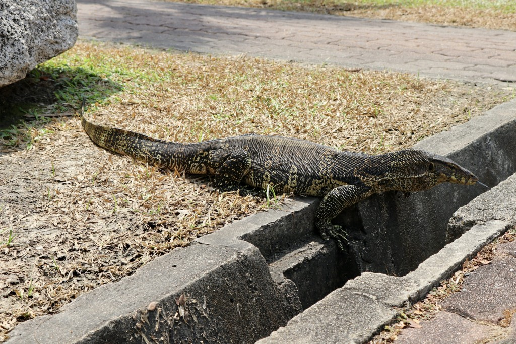 Monitor lizard in Lumpini Park | © Courtesy of Kelly Iverson