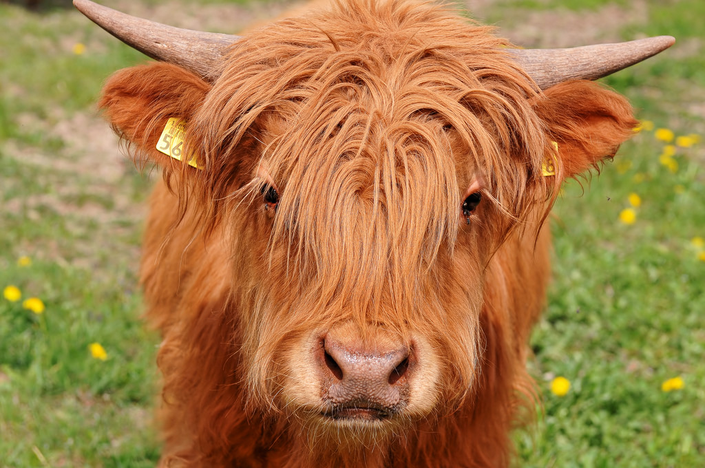 Image result for highland cow baby