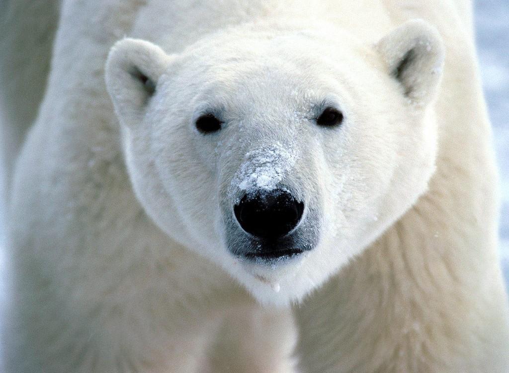 The Polar Bear Capital | © flickrfavorites/ Flickr