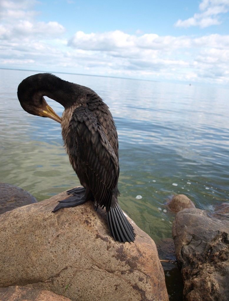 Cormorant on the Curonian Spit | ©Mindaugas Danys/Flickr