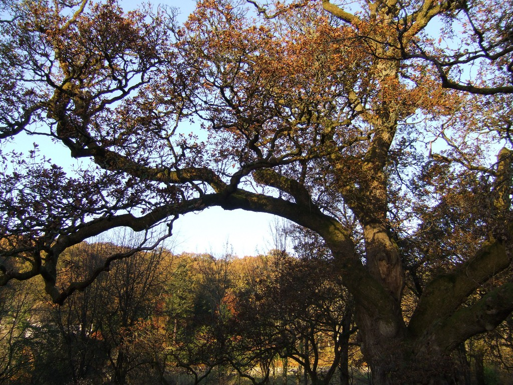 Birnam Oak | © William Marnoch/Flickr