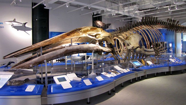 Great Blue Whale skeleton on display at the Canadian Museum of Nature | © D. Gordon E. Robertson