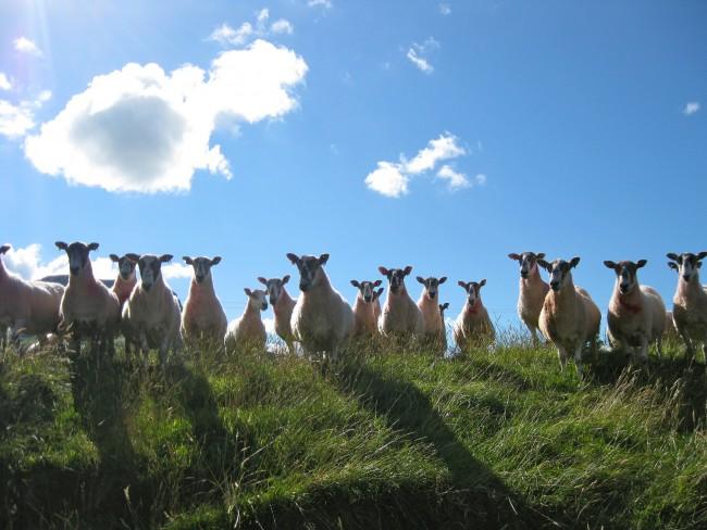 Sheep on the Glens of Antrim | © Susan McK/ Flickr