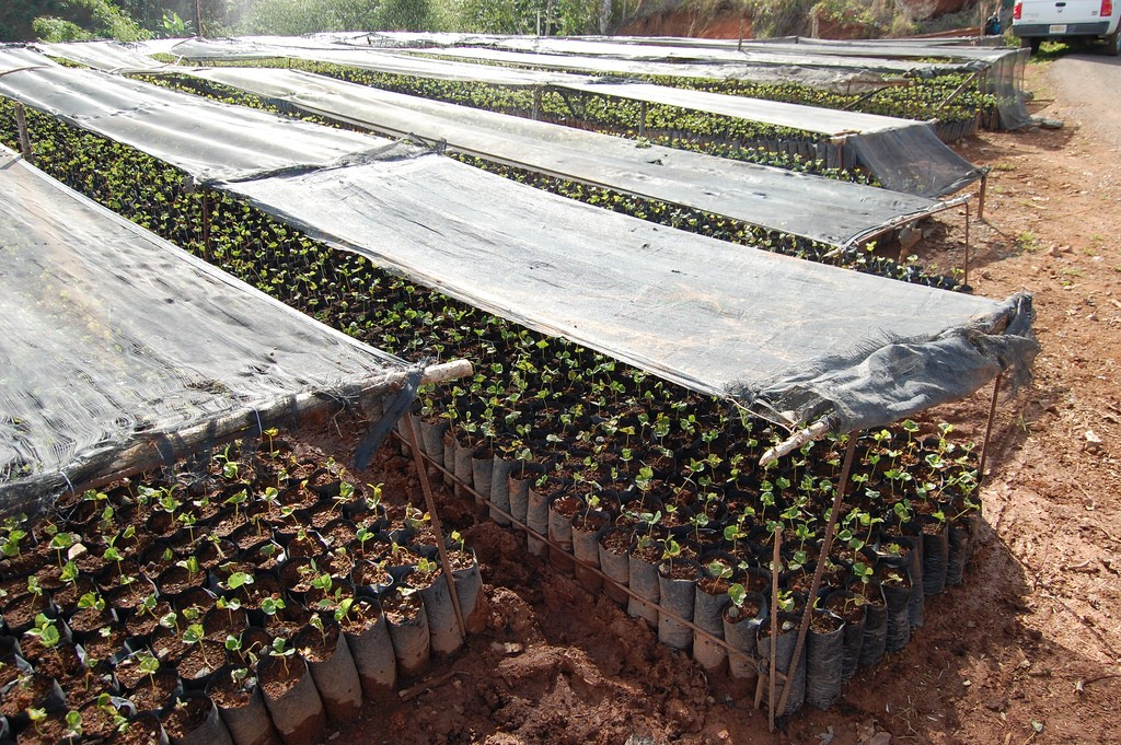 Coffee seedlings produced by Asencio Sánchez | © U.S. Fish and Wildlife Service Southeast Region/ Flickr