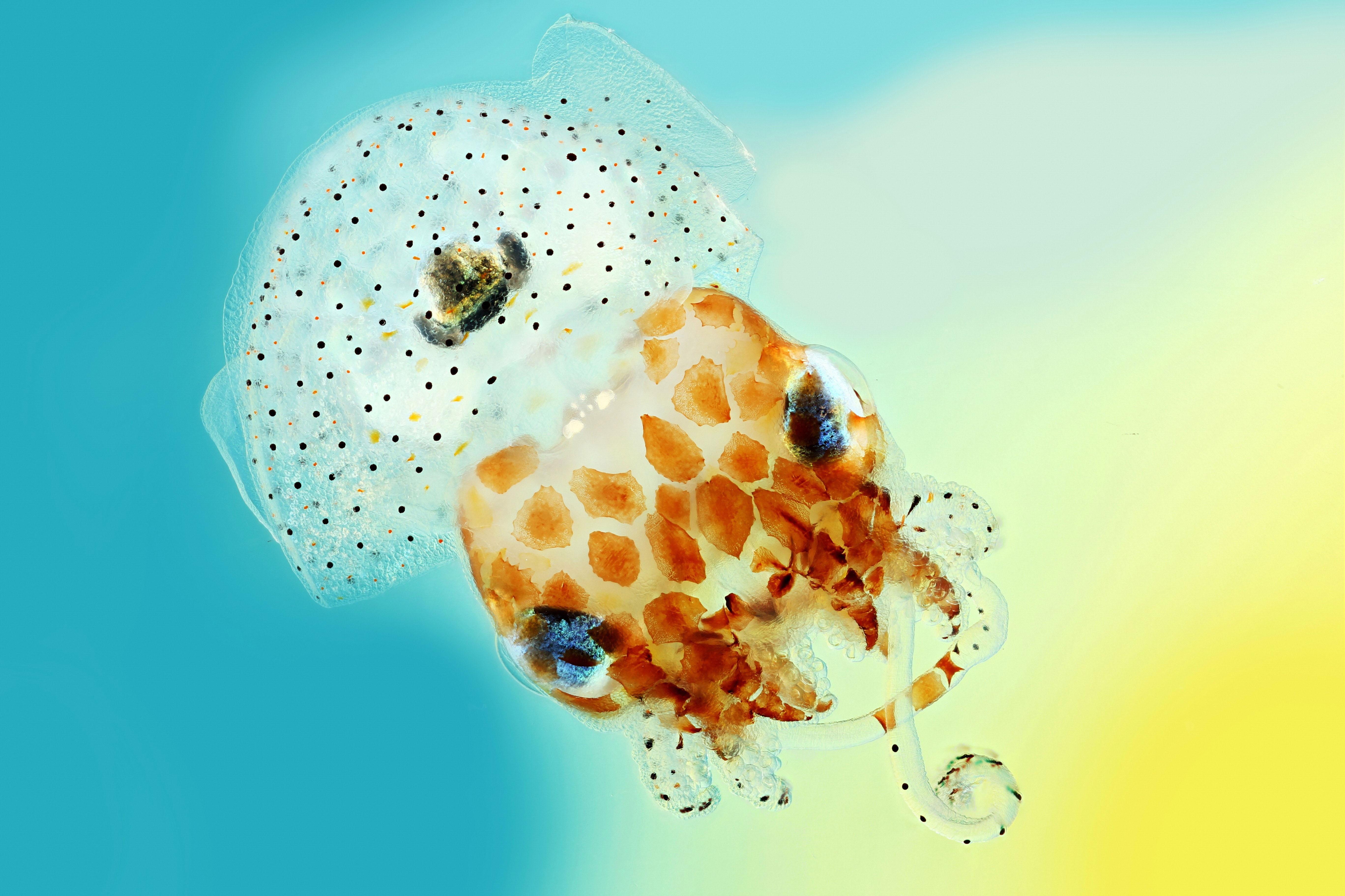 hawaiian-bobtail-squid-2.jpg