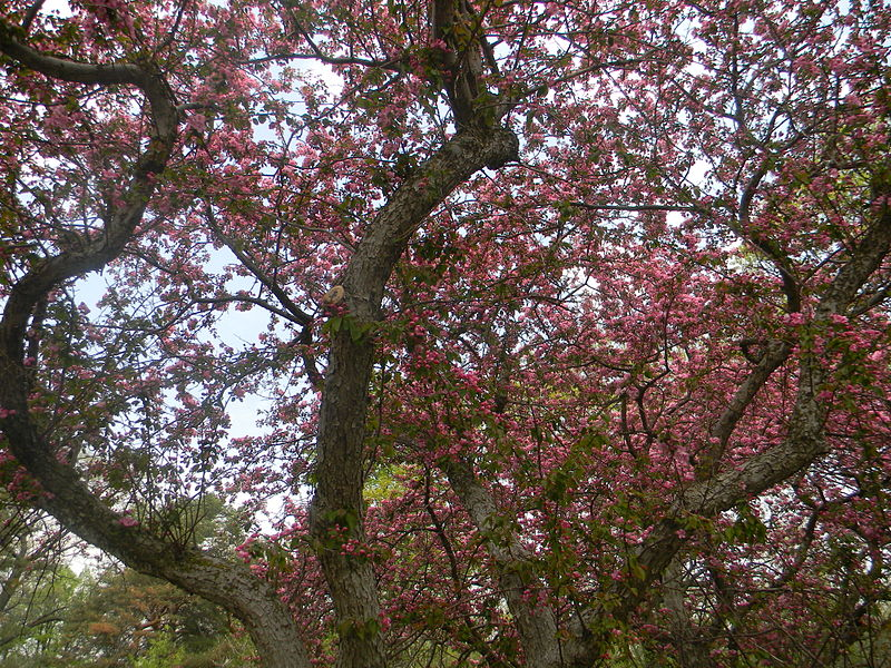 Sakura blossoms in High Park | © Laslovarga / WikiMedia Commons