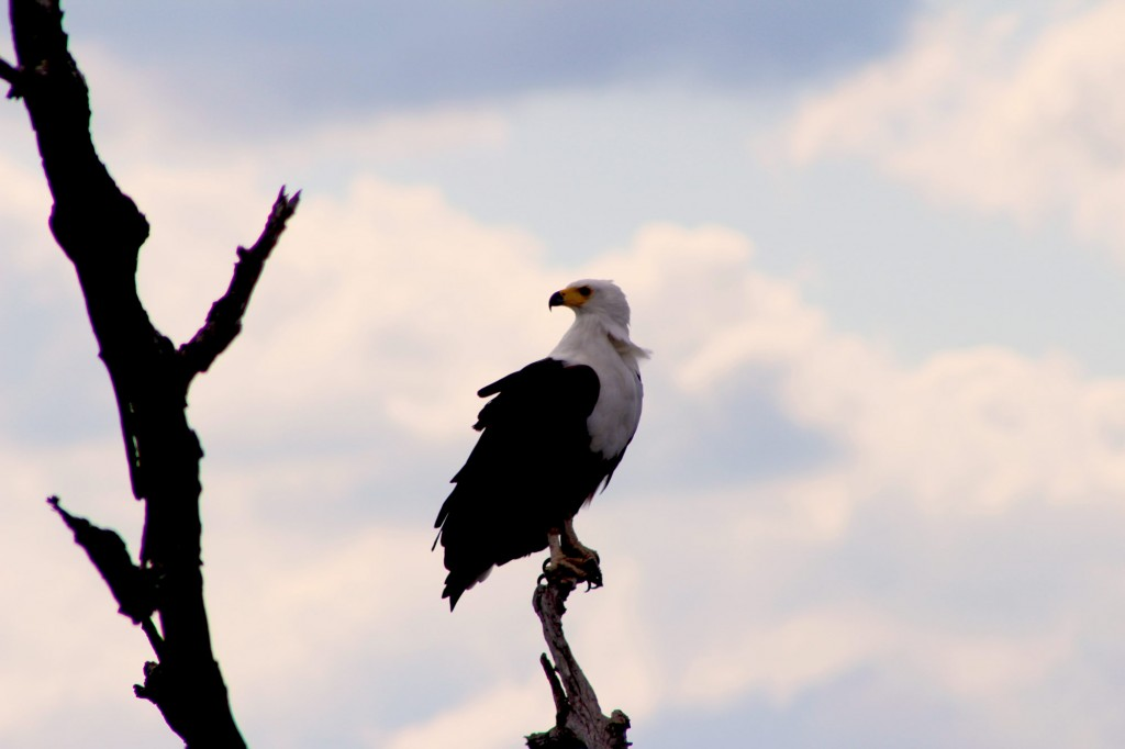 African fish eagle in the Kruger