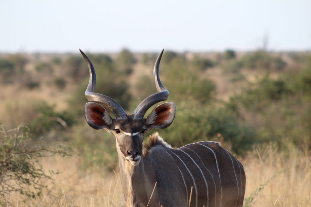 A Kudu in the Kruger