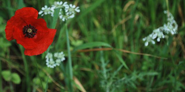 Red Poppy in Italy, Jacopo, Flikr