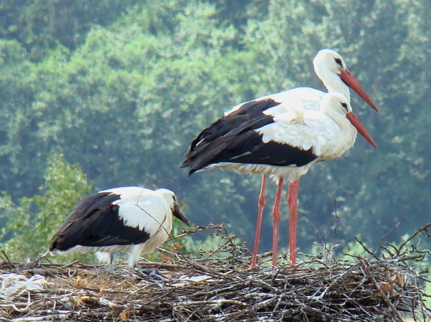 White Stork|©Mindaugas Urbonas/Wikimedia Commons