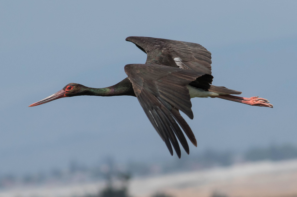 Black Stork |©MinoZig/Wikimedia Commons