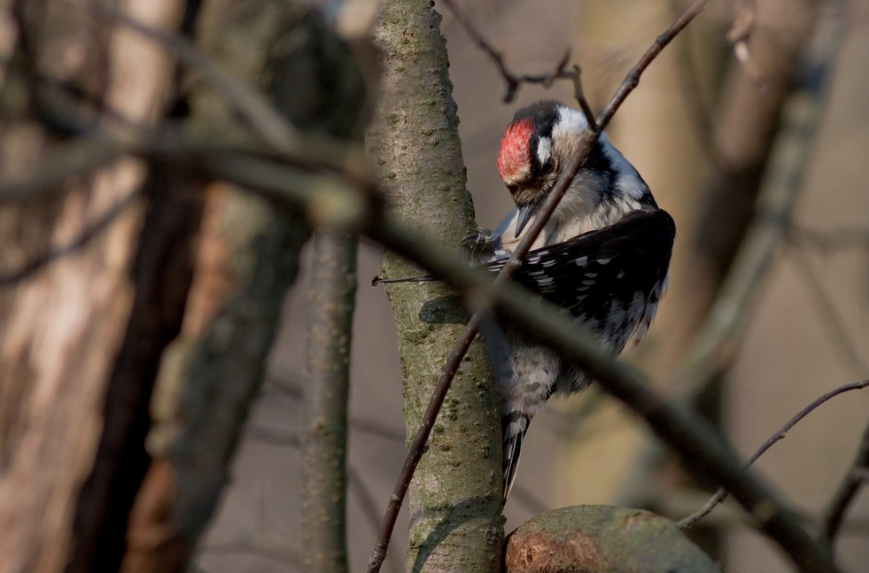 Lesser Spotted Woodpecker | © Thermos/Wikimedia Commons