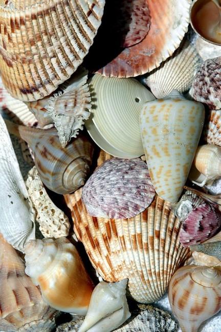 Example of seashells| © paulbr75/pixabay