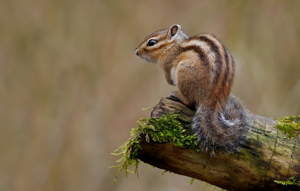 Sonian forest chipmunk | © Frank Vassen / Flickr
