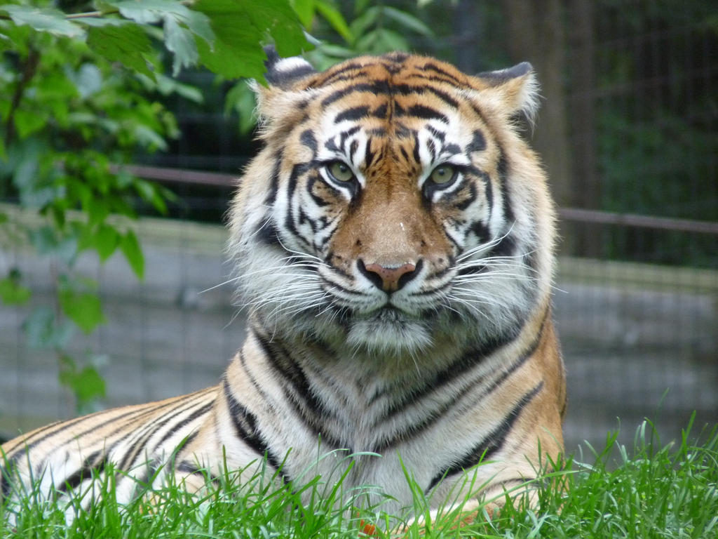 Tiger at Toronto Zoo | © Roger Ahlbrand / Flickr