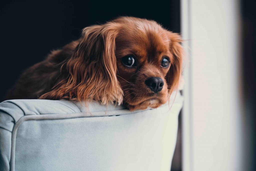 Puppies can enter Belgium at 15 weeks old, after being micro-chipped and vaccinated   © Andrew Branch / Unsplash