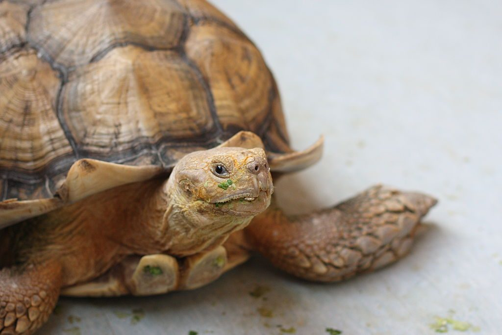 The African Spurred Tortoise, The Live Turtle & Tortoise Museum, Chinese Garden, Singapore | © yeowatzup / Flickr