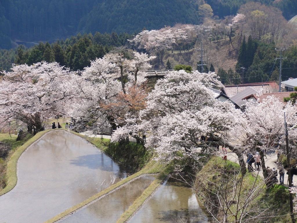 Cherry blossoms on Mount Mitake   © アラツク/WikiCommons (Aratsuku)