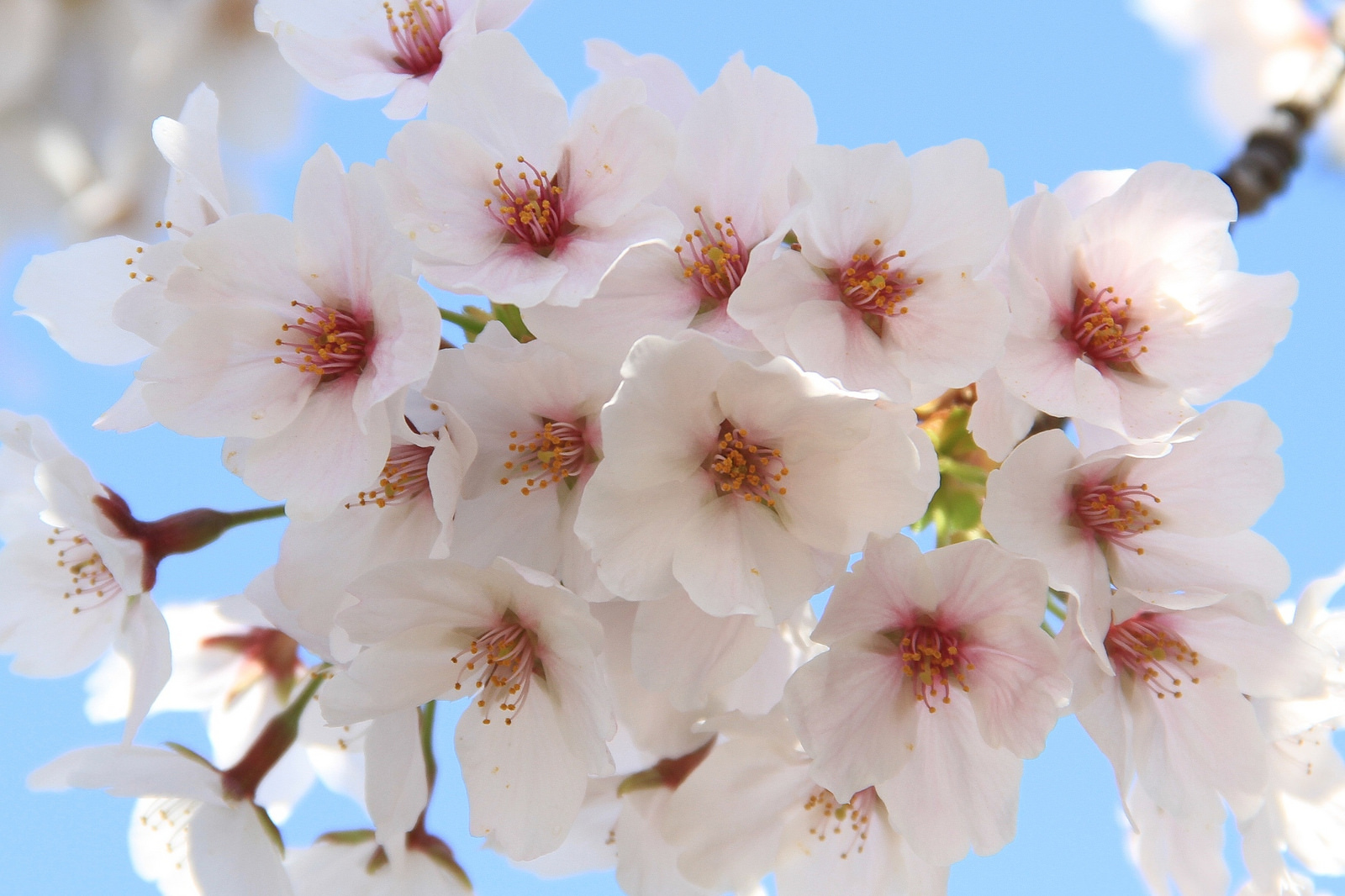 Cherry blossoms | © Ching/Flickr