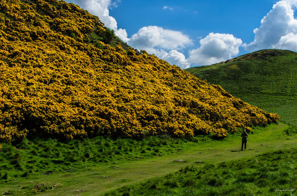 Gorse On Arthur's Seat   © City.And.Color / Flickr
