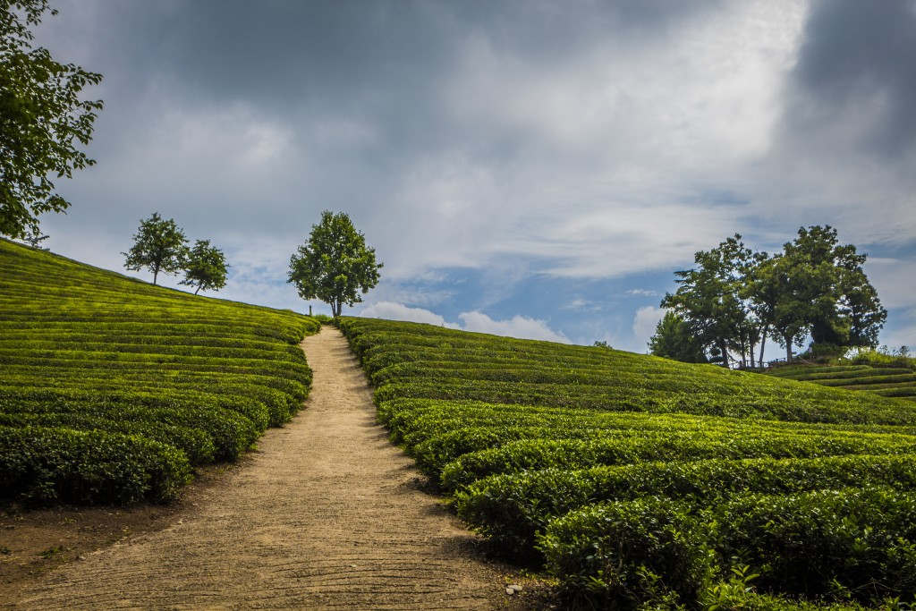 Boseong, home of Korea's commercial tea industry | © EunHo Sung / Flickr