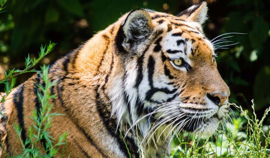 A tiger in the zoo | © Soren Wolf / Flickr