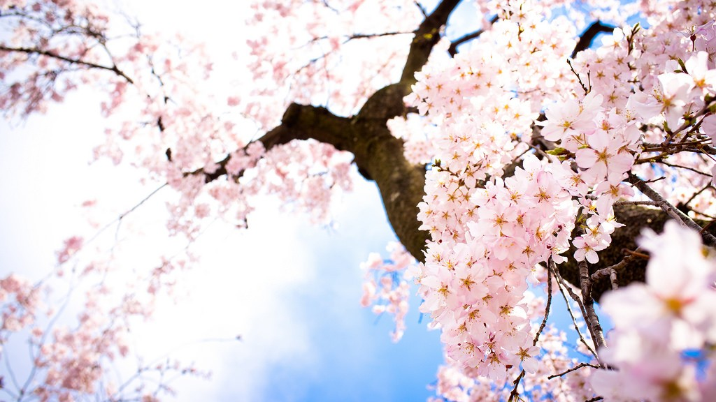 Sakura trees in spring   © Kou Art/Flickr
